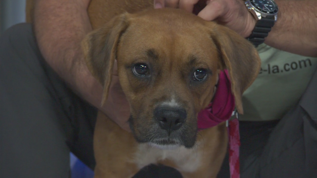 Pet Project: Iris from Boxer Rescue LA